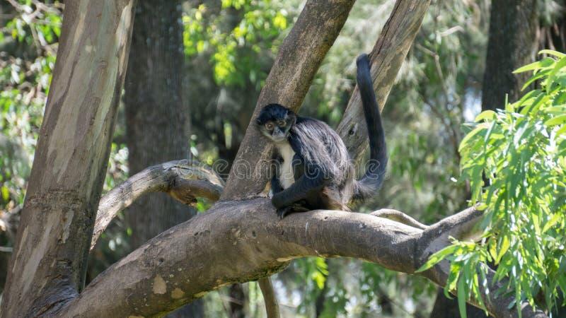 Seduta della scimmia immagini stock libere da diritti