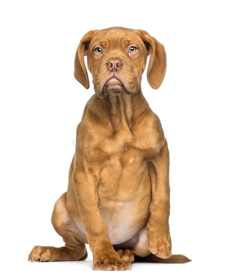 Seduta di Dogue de Bordeaux Puppy ed affrontare, 4 mesi fotografia stock