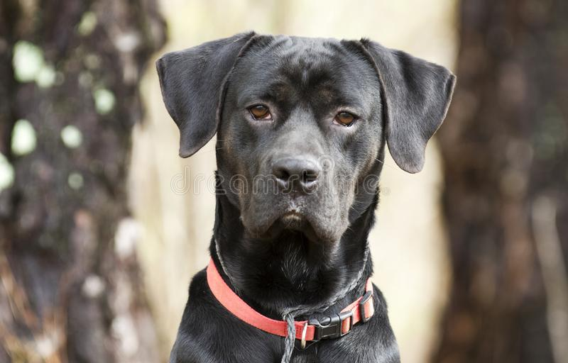 Seduta di Labrador Retreiver del puntatore, collare rosso e guinzaglio fotografia stock