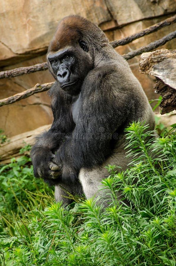 Seduta di rilassamento della gorilla di pianura occidentale immagine stock