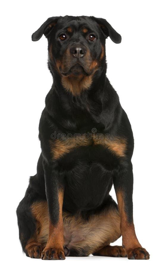 Seduta di Rottweiler fotografie stock