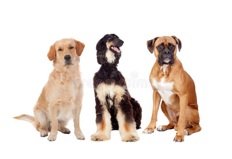 Seduta di tre cani dei differents una grande fotografia stock libera da diritti