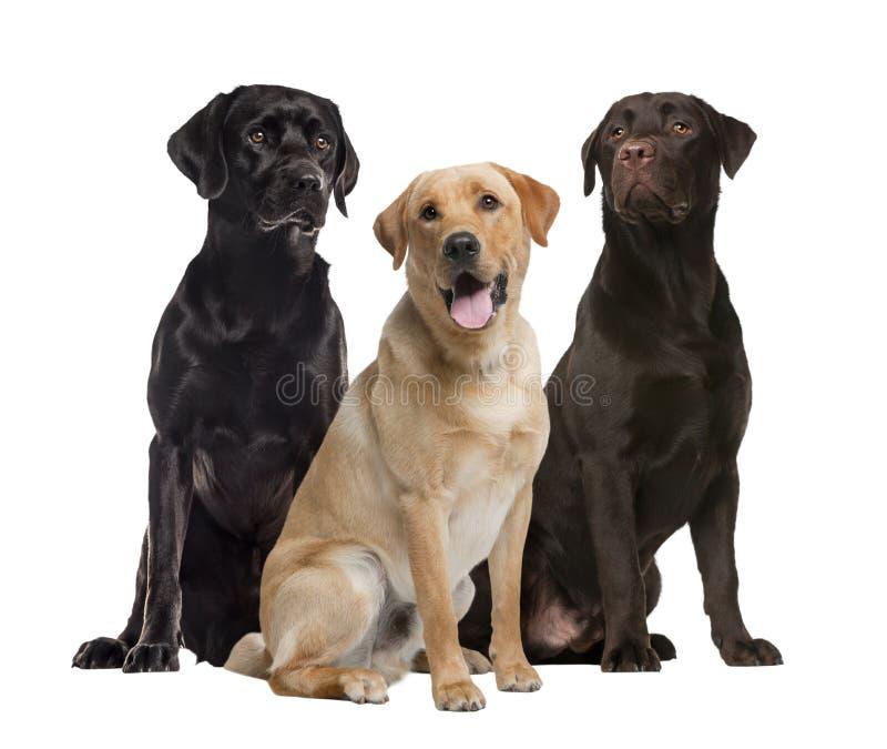 Seduta di tre labrador, isolata fotografie stock libere da diritti