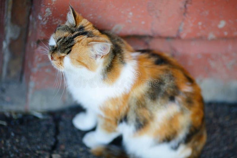 Seduta e sonni misti svegli del gatto della razza vicino alla parete rossa immagini stock libere da diritti
