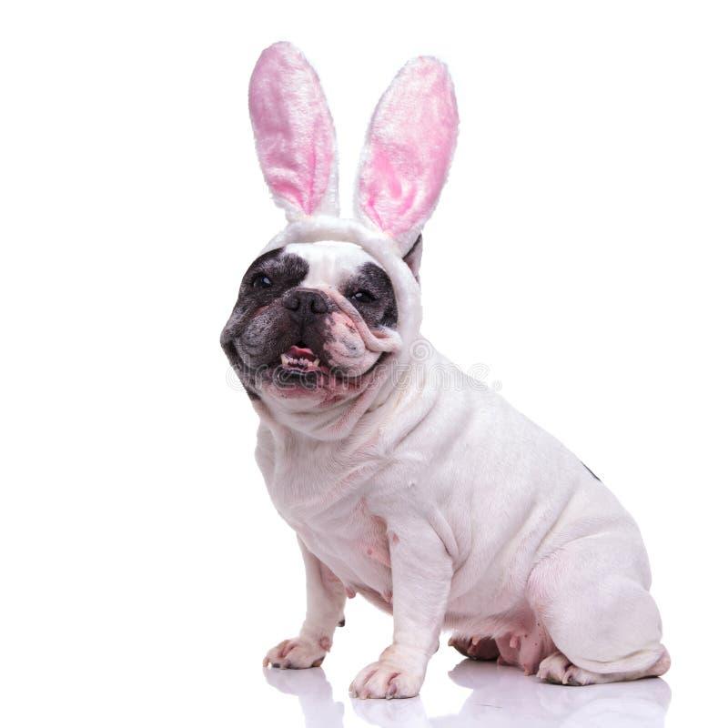 Seduta felice del bulldog francese del coniglietto dell'estere fotografie stock