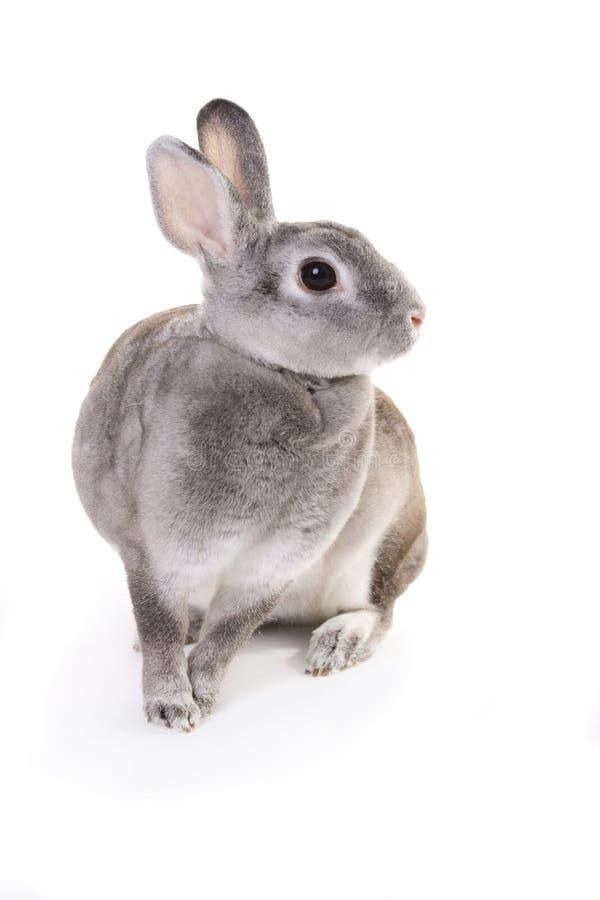 Seduta grigia del coniglio fotografie stock
