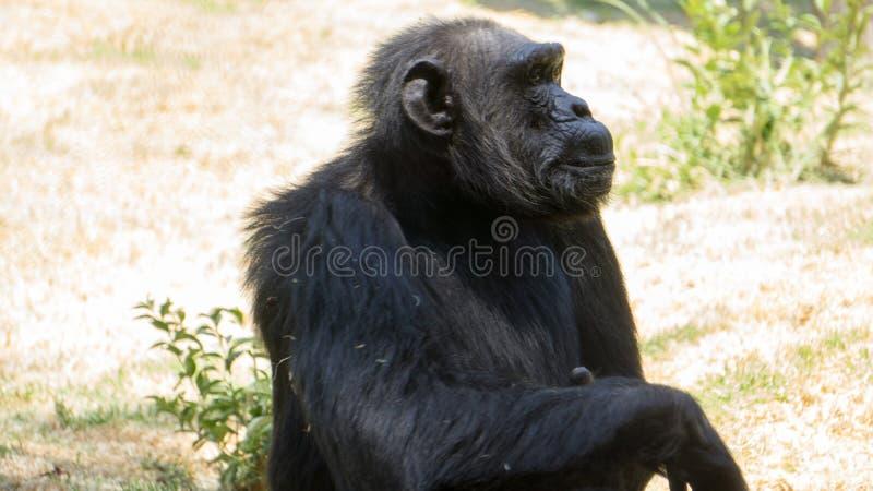 seduta nera della scimmia come pensando immagine stock