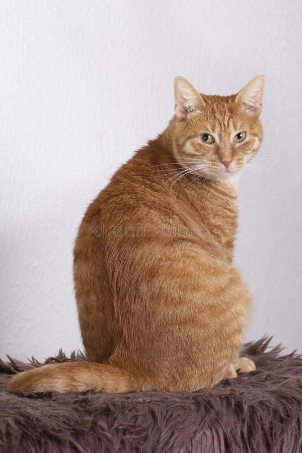 Seduta rossa domestica del gatto r fotografia stock libera da diritti