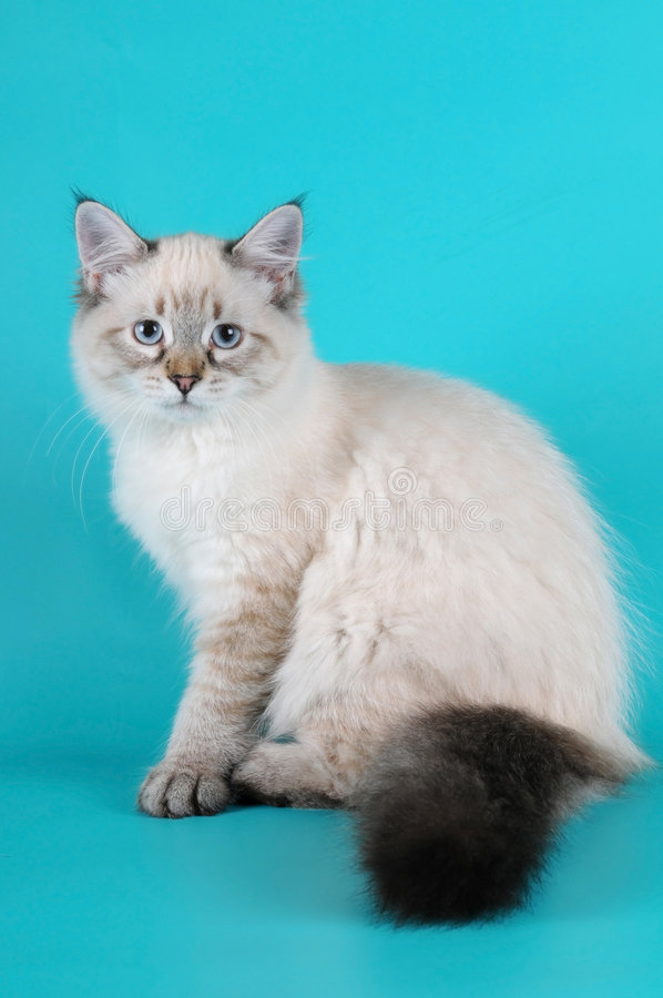 Seduta siberiana del gattino fotografie stock