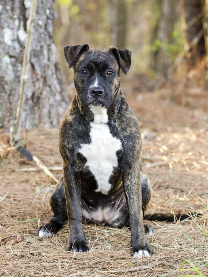 Seduta striata del cucciolo della miscela del mastino di Pitbull del pugile immagini stock libere da diritti