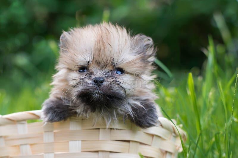 Seduta sveglia lanuginosa dello Spitz del cucciolo nel canestro immagini stock libere da diritti