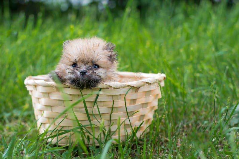 Seduta sveglia lanuginosa dello Spitz del cucciolo nel canestro fotografia stock libera da diritti