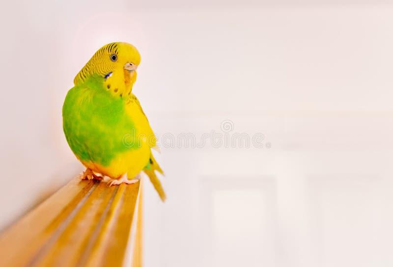 Seduta verde e gialla di pappagallino ondulato del parrocchetto appollaiata sopra uno specchio incorniciato di legno della parete fotografie stock libere da diritti