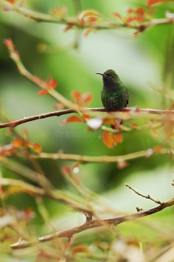 seduta verde smeraldo dalla testa cuprica sul ramo, uccello dalla foresta tropicale della montagna, Costa Rica, uccello che si ap fotografia stock libera da diritti