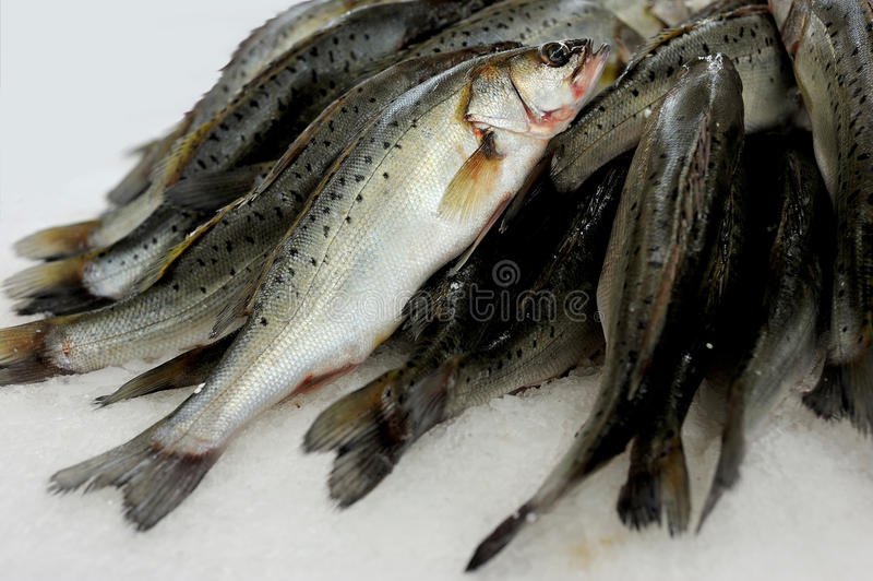 See bass. Fish see bass on the ice at the market royalty free stock photos