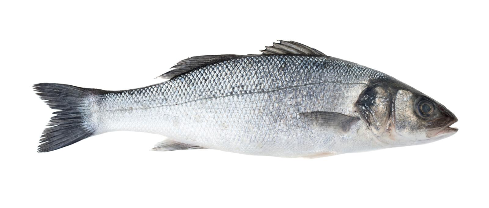 See bass fish. Raw sea bass fish isolated on white background royalty free stock photos