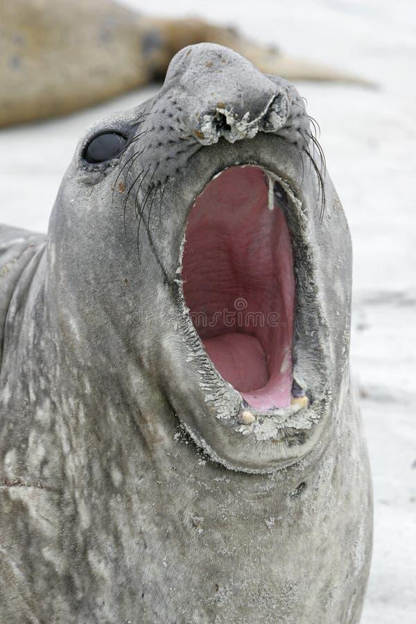 See-Elefant, Mirounga leonina, stockfoto