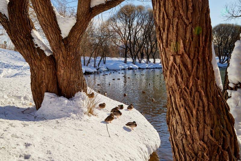 See im Park mit Enten und ein Baumstamm im Vordergrund an einem sonnigen Frühlingstag lizenzfreie stockbilder