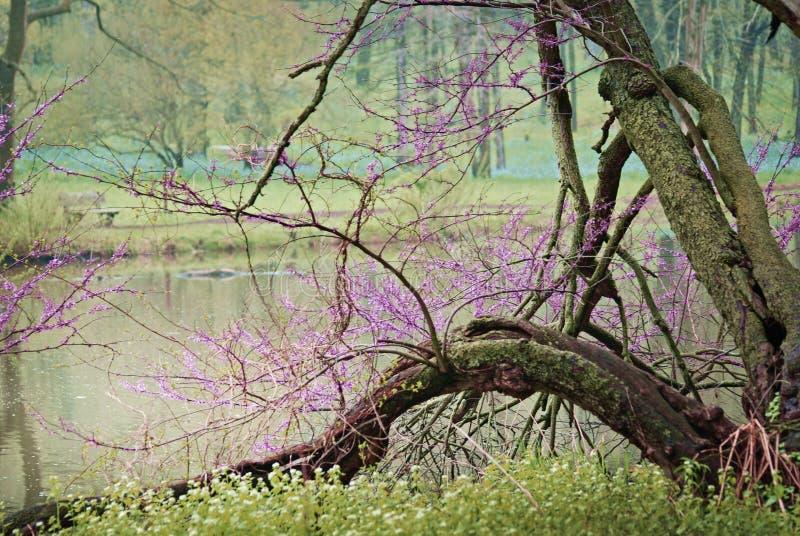 See Marmo im Frühjahr mit purpurrotem blühendem Baum durch das Wasser bei Morton Arboretum stockbilder