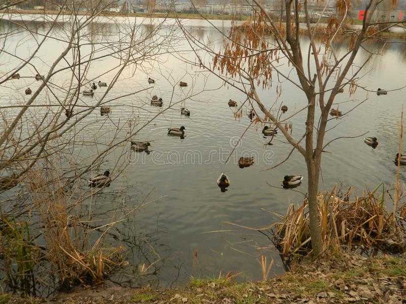See mit den Enten, die nahe Ufer schwimmen lizenzfreie stockfotografie