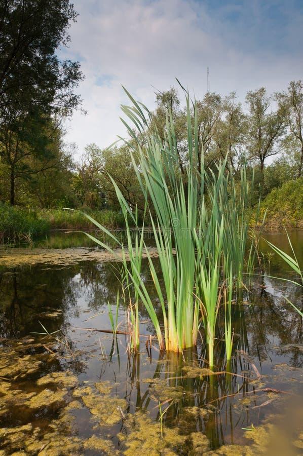 See mit ruhigem Wasser und Schilf an einem sonnigen Tag lizenzfreie stockbilder