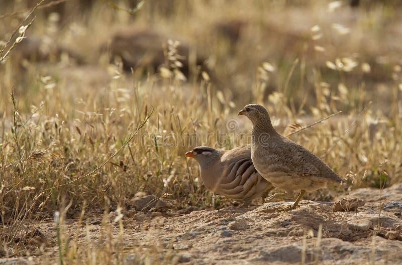 See-see Partridge (Ammoperdix Griseogularis) Royalty Free Stock Photography