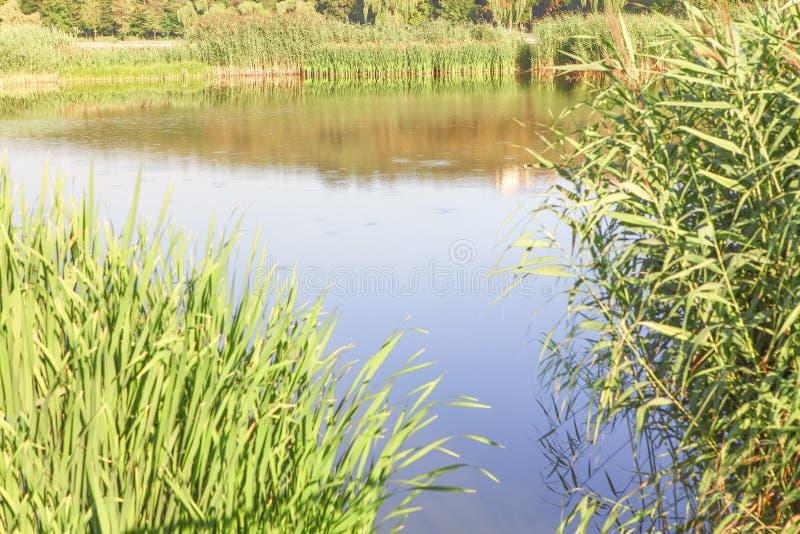 See und grünes Schilf stockbilder