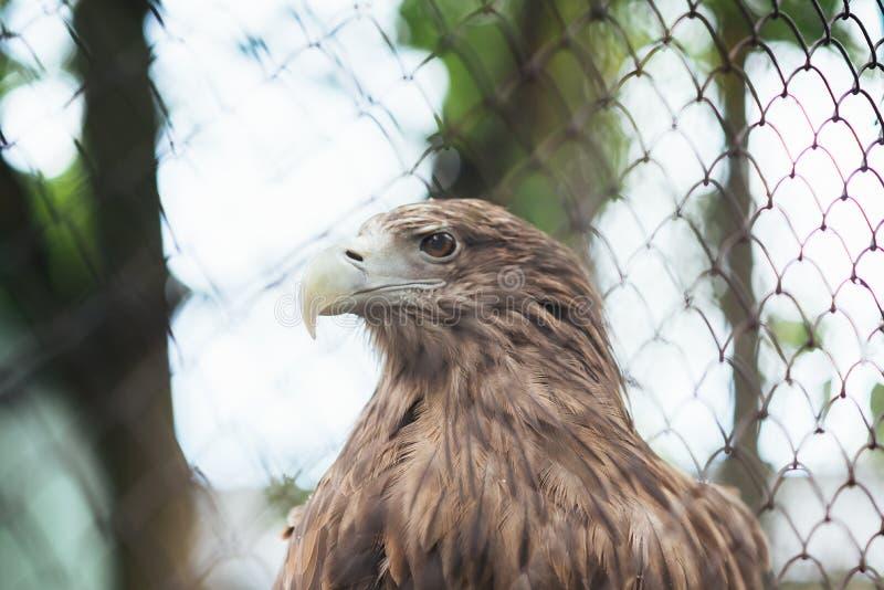 Seeadler in der Gefangenschaft in einem Käfig lizenzfreie stockfotografie
