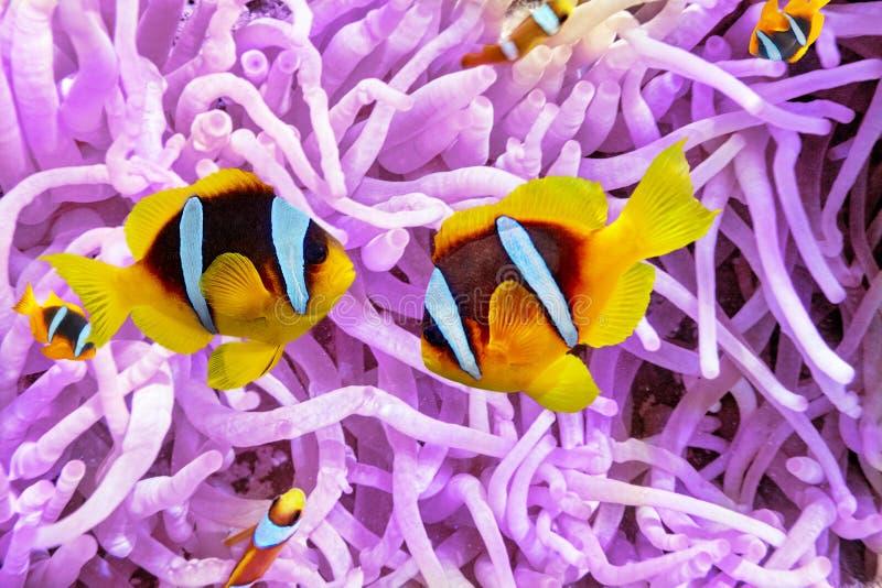 Seeanemone mit Anemonefish stockfotografie
