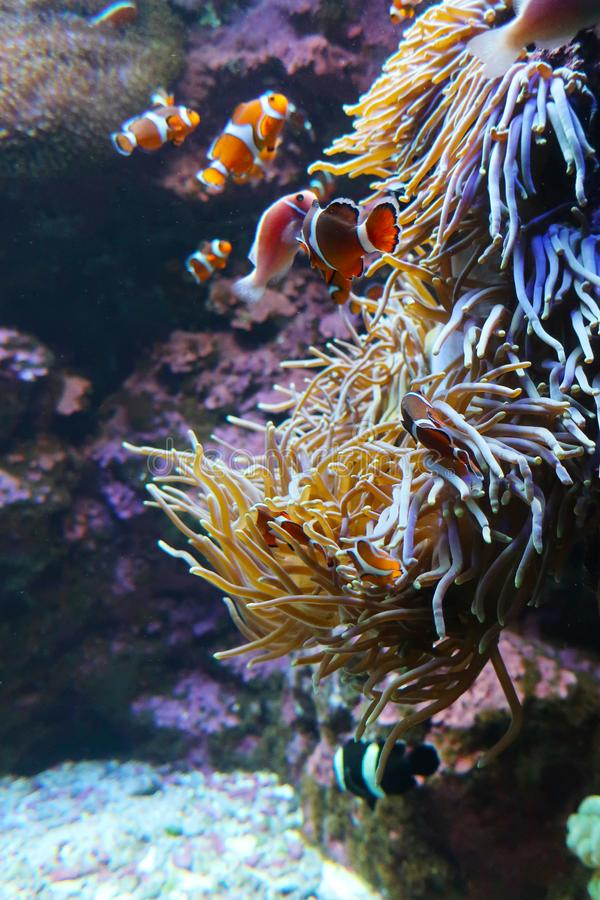 Seeanemone und Clownfische lizenzfreie stockfotografie