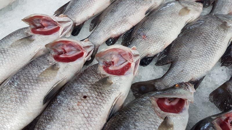 Seebarsch sind Anordnung auf dem Eisbehälter mit roten Kiemen lizenzfreie stockfotos