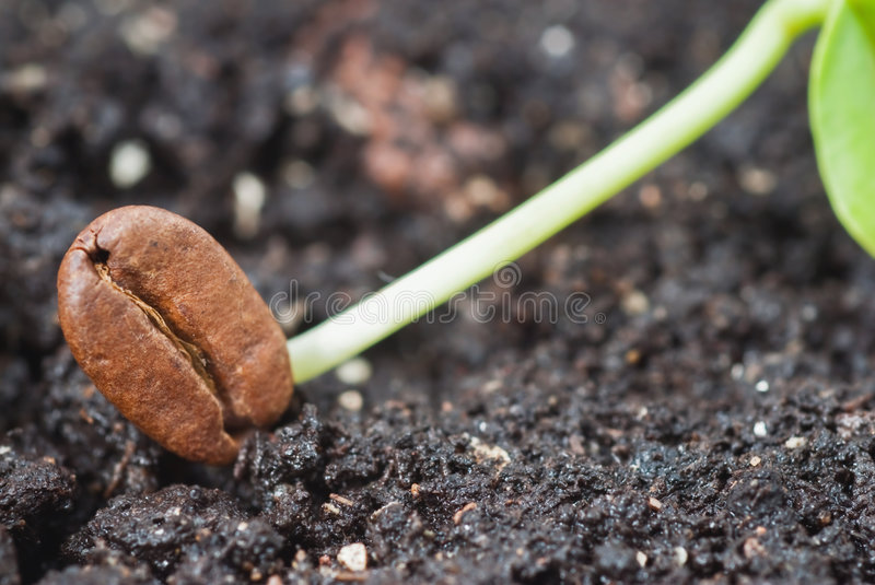 Seed coffee royalty free stock photography