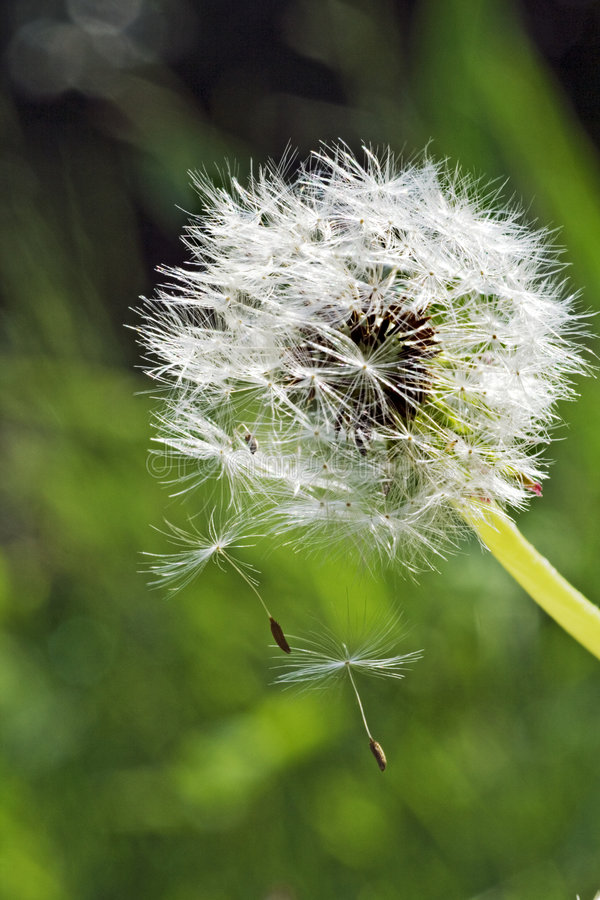 Free Seed Dispersal From Dandelion Royalty Free Stock Photography - 2443007