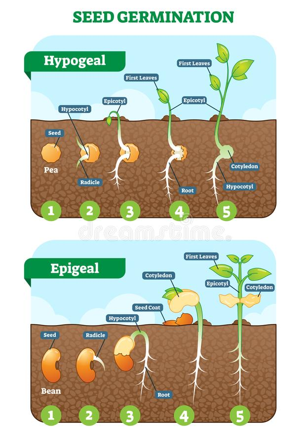 Free Seed Germination Cross Section Vector Illustration In Stages. Hypogeal And Epigeal Types. Stock Photography - 113092462