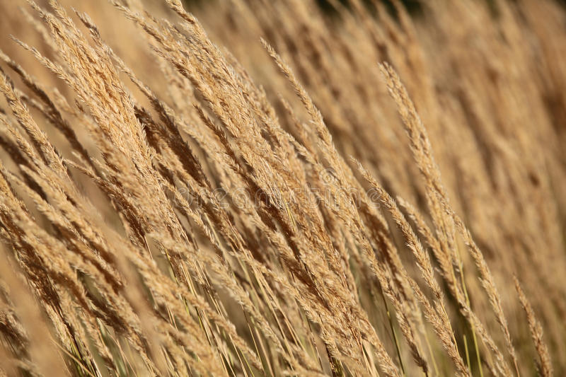 Seed Grass Royalty Free Stock Photography