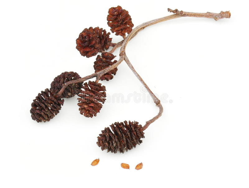 Seed from gray alder. Seed and seed capsules from gray alder alnus incata royalty free stock photo