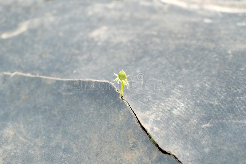 Seed growing through crack  pavement Ecology concept. Rising sprout on dry ground. Seed growing through crack in pavement Ecology concept. Rising sprout on dry stock photography