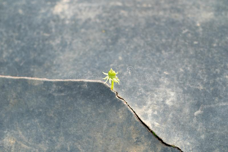 Seed growing through crack  pavement Ecology concept. Rising sprout on dry ground royalty free stock photo