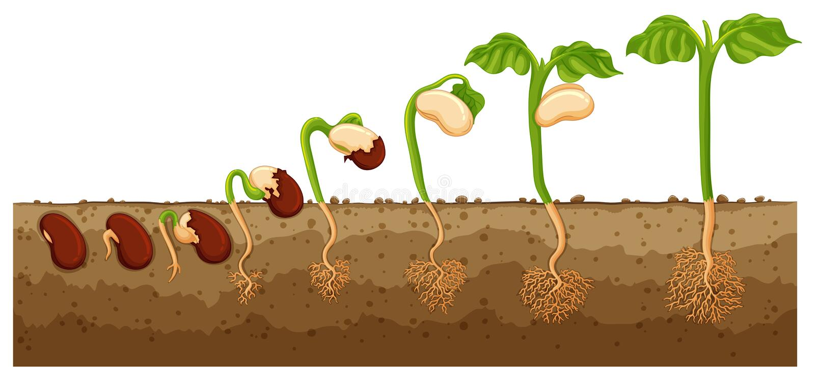 Seed growing into tree stock illustration