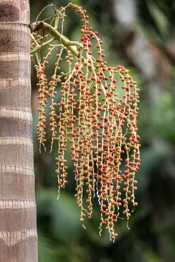 Seed head of Bangalow palm,. Archontophoenix cunninghamiana stock photography