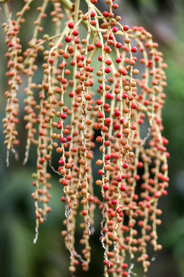 Seed head of Bangalow palm. Archontophoenix cunninghamiana stock photography