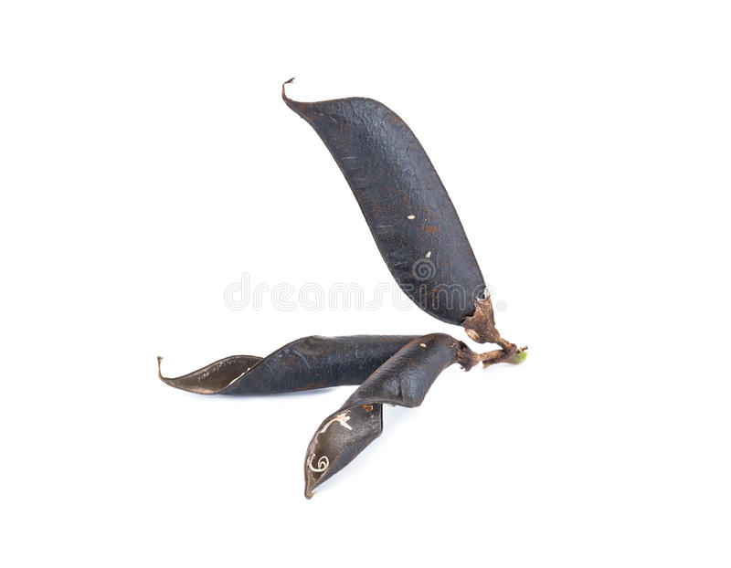 Seed of plant of Vicia stock images