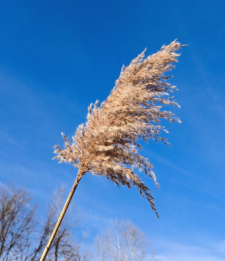 Seed pod of a common reed silhouetted against a blue sky. stock images