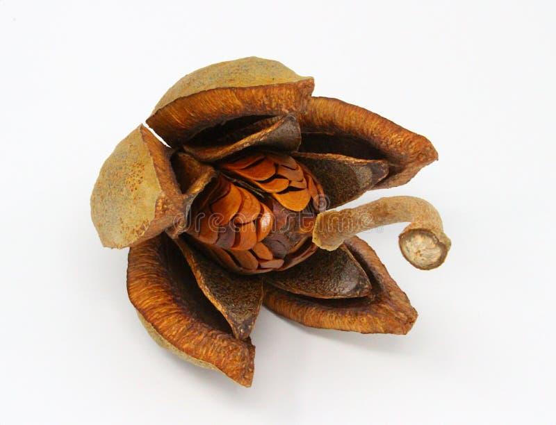 Seed pod from a mahogany tree. stock images