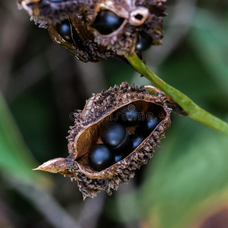 Seed pods of the Canna lilly stock photo