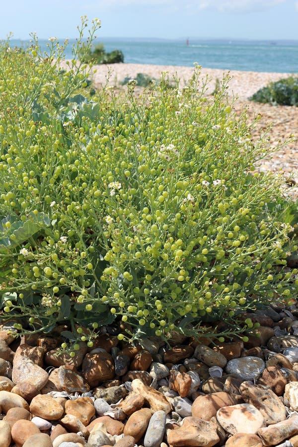 Sea Kale Fruits. Seed pods of Sea kale or Crambe maritima royalty free stock photography