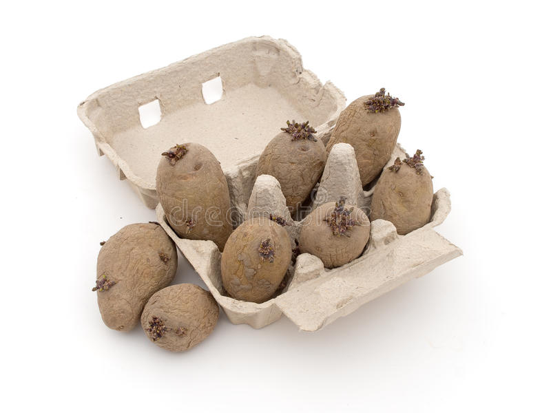 Seed potatoes chitting in egg box, on white. royalty free stock images