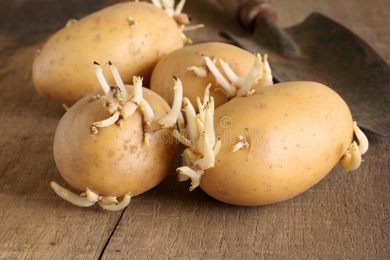 Seed Potatoes royalty free stock image