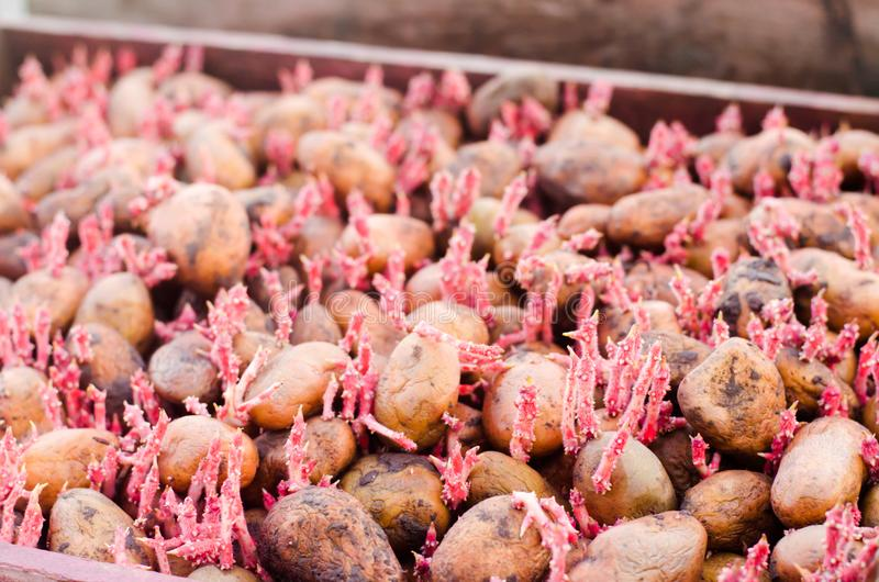 Seed potatoes with sprouts after processing from the Colorado beetle. Preparation for planting potatoes. seasonal work in the fiel royalty free stock photos