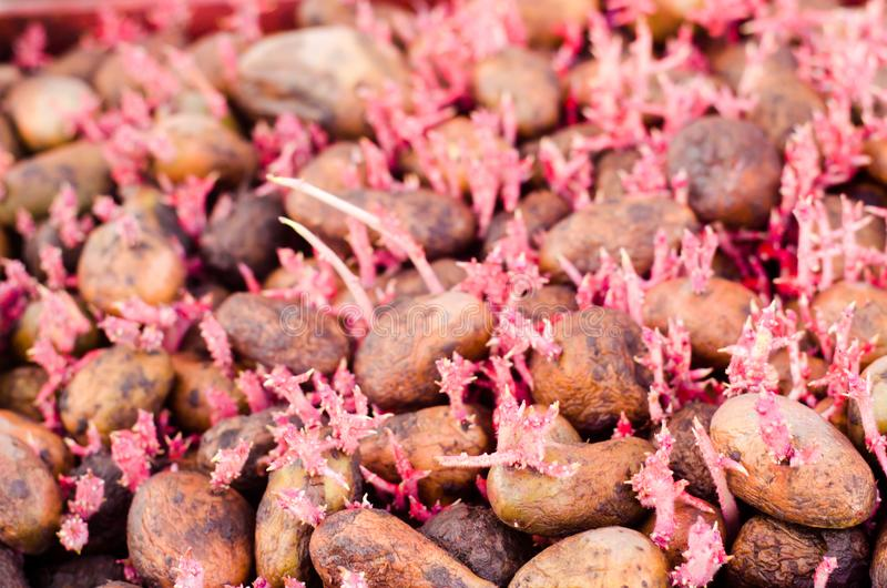 Seed potatoes with sprouts after processing from the Colorado beetle. Preparation for planting potatoes. seasonal work in the fiel royalty free stock images